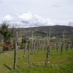 Vineyard of farmhouse I Cipressi near Città di Castello: farmhouse for sale in Umbria, Italy